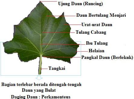 struktur morfologi daun beserta penjelasannya lengkap