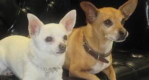 Beverly Hills Chihuahua 2 : CineSnob