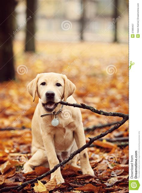 labrador  autumn leaves royalty  stock photography