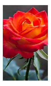 Free download Orange Rose Wallpapers HD Wallpapers ...