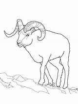 Sheep Coloring Pages Dall Bighorn Clipart Printable Face Adult Outline Mountain Rocky Crafts Sauti Pata Animal Cartoon Drawings Easy Animals sketch template