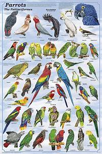 Parrots Poster from Feenixx Publishing