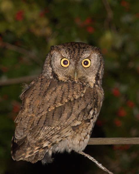 birds eastern screech owl