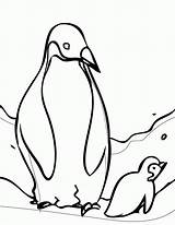 Coloring Penguin Adelie Pages Printable Popular sketch template