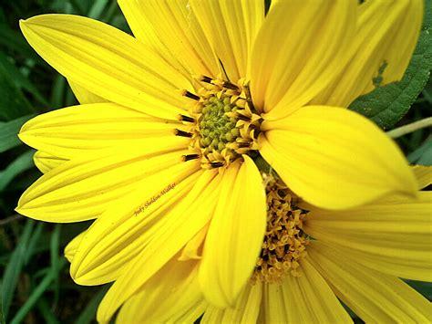 with yellow flowers jsheldonwalker mystery yellow flower