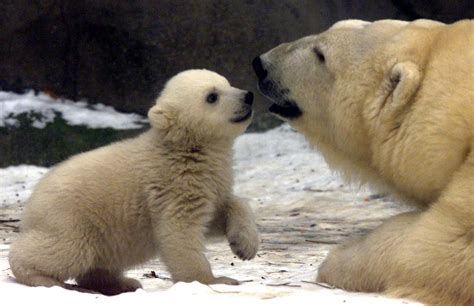 What Are Some Basic Facts About Polar Bears