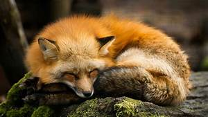 red, fox, national, geographic, wallpapers, desktop, background