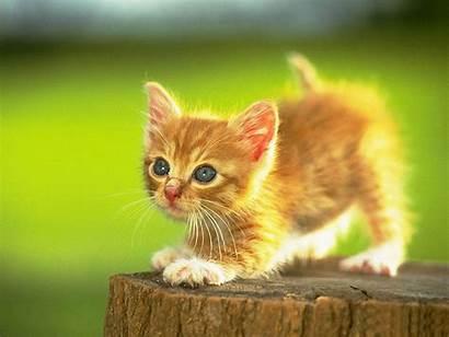 Cat Wallpapers Hunting Backgrounds Cats Desktop Kitten
