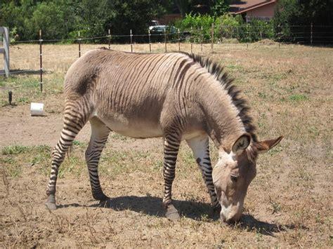 zonkey donkey zebra cross animal hybrids miniature animals horse does zebras species genetics donkeys horses information zonkeys cute magnificent there