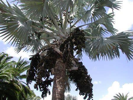Palmáceas - Jardim Exótico - O maior portal de mudas do ...