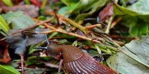 Schnecken Im Garten : schnecken im garten nat rliche methoden um knabberer zu vertreiben ~ Frokenaadalensverden.com Haus und Dekorationen