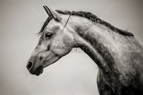 Horse Head Black and White Photography