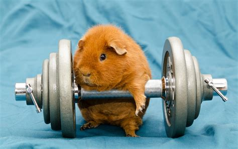 guinea pig wallpapers high quality