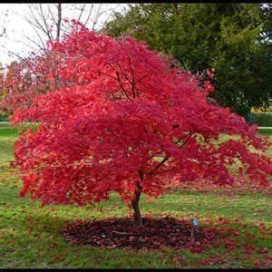 Erable Du Japon Entretien : photo de erable du japon red flash jardin jardins ~ Nature-et-papiers.com Idées de Décoration
