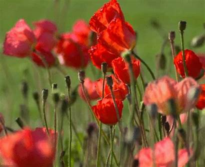 Poppies Gifs Animated Flowers Plants Field Gifmania