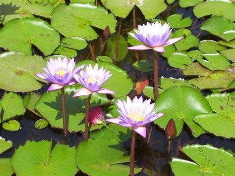 Lotus - India Travel Forum | IndiaMike.com