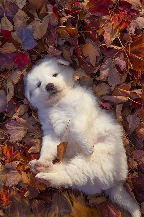 Great Pyrenees Shedding In Fall by 35 Best Autumn Images On Nature Autumn