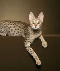 savana cat cat zuri f4 sbt cat a1 savannahs