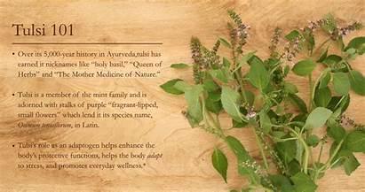 Tulsi Herbal Herb Plants Families