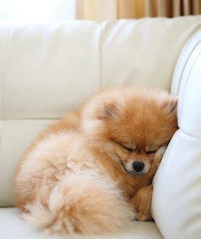 empecher un chien de monter sur le canape comment emp 234 cher chien de monter sur le canap 233 canape bz