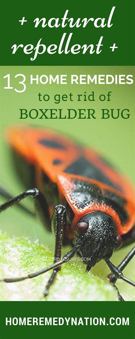 bugs rid boxelder remedies elder box bug kill winter these insects safe getting bedbugs natural read way beetles killers spray