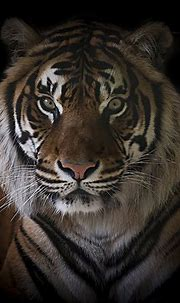 Save the Tiger   Do you even need a reason to save the ...