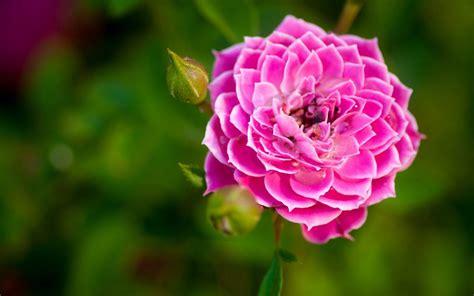 Download Pink Dahlia Flower Wallpaper For Desktop Mobile