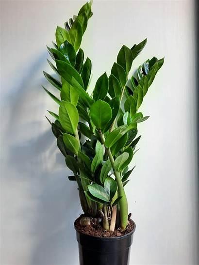 Zz Plant Zamioculcas Zamiifolia Pot 14cm