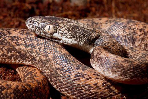 Snakes of around the world: Savu Python