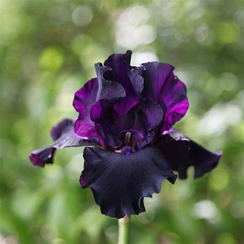 buy bearded iris iris superstition delivery by crocus