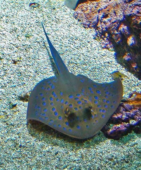raie d eau douce aquarium galerie web photo adobe