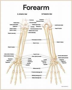 Forearm Bone Anatomy