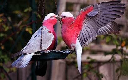 Birds Bird Wallpapers Lovebirds Lovebird Parrots 4k