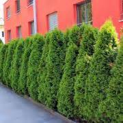 Schnell Wachsender Sichtschutz Immergrün : thuja hecken pflanzen sichtschutz koniferen solit r ~ Michelbontemps.com Haus und Dekorationen