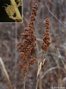 Spiraea Tomentosa  Steeplebush   Minnesota Wildflowers