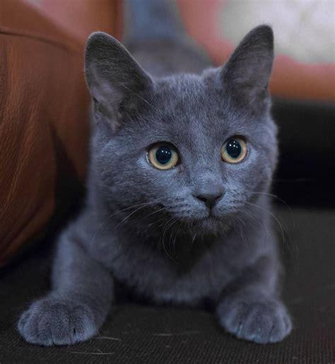 Blue Cats 25 Best Ideas About Russian Blue Kitten On