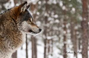 Wolf in profile by PictureByPali on DeviantArt