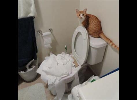 papier toilette qui se dissout dans l eau les meilleures photos de chats aux toilettes yummypets