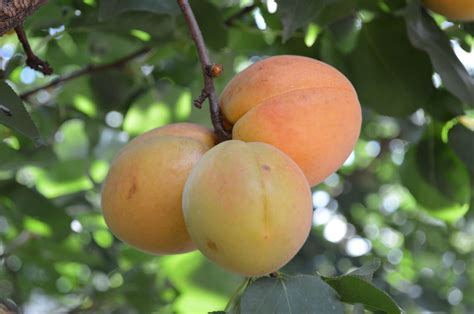 No Apricots On The Tree - Reasons For An Apricot Tree Not ...