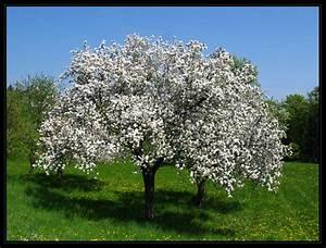 Rosa Blühender Baum Im Frühling : bl hender apfelbaum foto bild jahreszeiten fr hling ~ Lizthompson.info Haus und Dekorationen