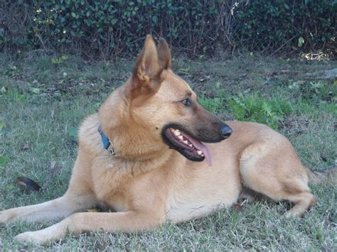 german shepherd great dane mix for sale dog breeds picture