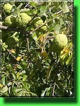 Маклюра или адамово яблоко при псориазе