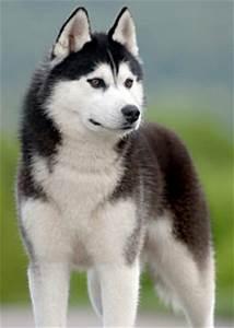Siberian Husky Breed Information: History, Health ...