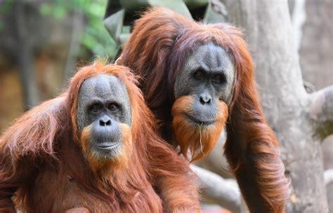 sumatran orangutan birthday bash sacramento zoo