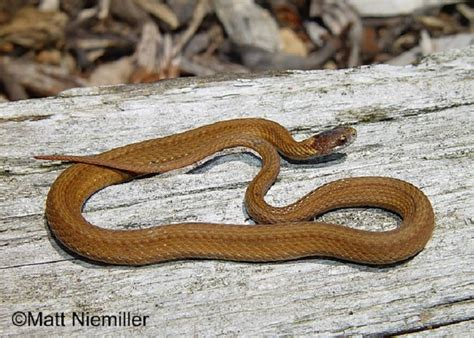 copper colored snake tennessee watchable wildlife bellied snake