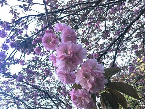 giardino dei ciliegi roma hanami la magia dei ciliegi in fiore all orto botanico di
