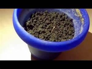 Comment Faire Germer Une Graine : comment faire germer une graine de cannabis interieur ~ Melissatoandfro.com Idées de Décoration