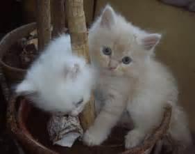 doll cat file mumbai doll faced kittens jpg wikimedia