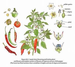Chili Pepper  U00a9fao  Guida Joseph