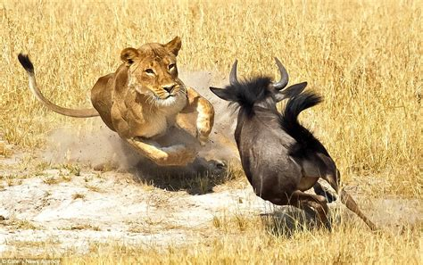 Zimbabwe Wildebeest Is Finally Brought Down After Being